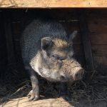 Het hangbuikzwijn is een varkensras dat in Vietnam en China vaak voorkomt. Andere namen die wel worden gebruikt zijn het hangbuikvarken of het minivarken. Het is een klein varkentje met een gedrongen kop en met kleine spitse oren. De rug is meestal licht doorgezakt en het beestje heeft een hangbuik die vaak de grond raakt (vandaar zijn naam) doordat de poten tamelijk kort zijn. De huid is dik en vaak geplooid. Zijn kleur is zwart, wit, grijs, of combinaties van deze kleuren. De mannetjes hebben op hun hoofd en een deel van hun rug een kam van langere haren, de borstels genoemd.