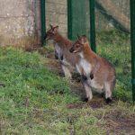 Wallaby is de naam die wordt gegeven aan verscheidene soorten kleine tot middelgrote kangoeroes. Er is echter geen vaste grens die stelt wanneer een kangoeroe een wallaby is, en wanneer niet. Het woord wallaby komt uit de taal van de Eora, een Aboriginal-stam die oorspronkelijk leefde in het gebied waar nu Sydney ligt.