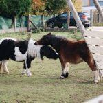 Het American miniature horse(Nederlands: Amerikaans minipaard) is zoals de naam zegt een heel klein paard uit de Verenigde Staten. Het paardje wordt dus ook maar 86 cm hoog. Alle kleuren zijn toegestaan.